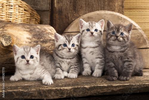 British kitten on retro background #49287770