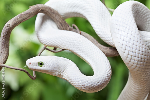 White Texas rat snake on a wooden branch