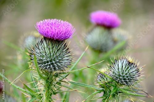 Scottish thistles Fototapeta