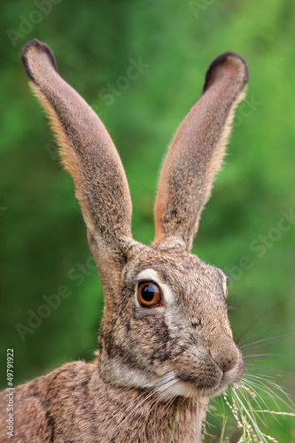 Fototapeta Scrub hare portrait