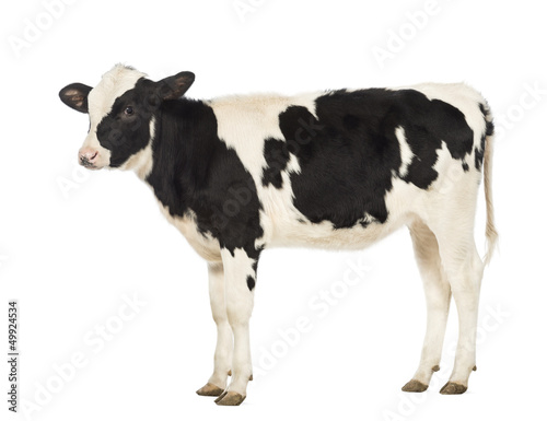 Carta da parati Calf, 8 months old, in front of white background