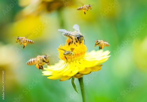 Cuadros en Lienzo Group of bees on a flower