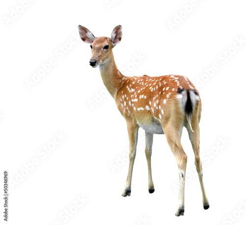Photo sika deer