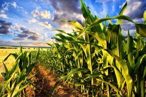 Fotografía Corn field and sky with beautiful clouds
