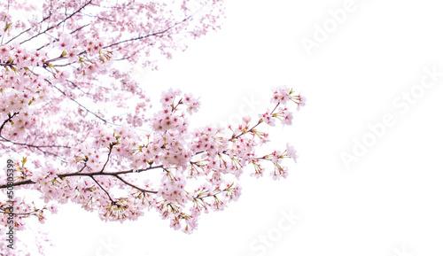 Fotografija isolated sakura tree