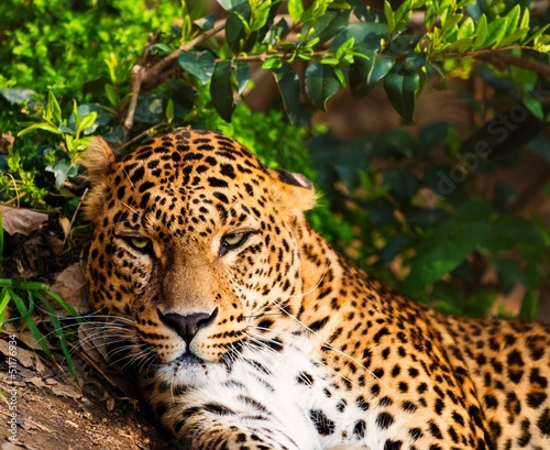 Close-up shot of a gorgeous leopardess