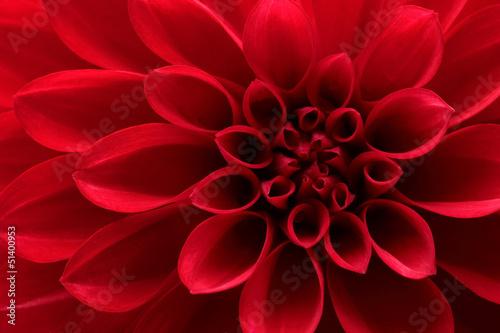 Valokuva Close up of red dahlia flower