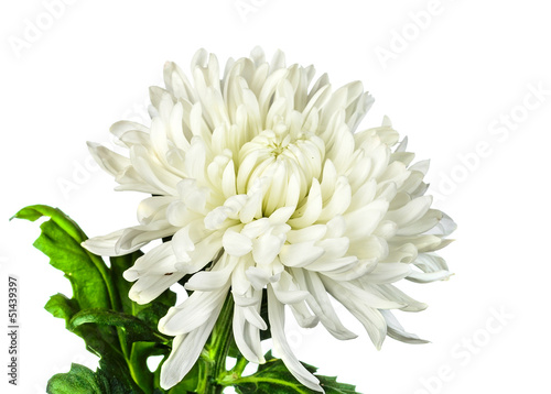 Fotografia white chrysanthemum flower