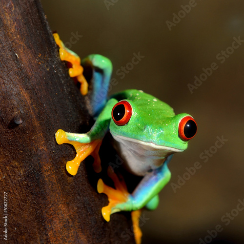 Green tree frog (Agalychnis callidryas) with red eyes, close-up.Terrarium, zoo laboratory. Nature, wildlife, biology, zoology, herpetology, science, education, graphic resource, design, 3D, copy space