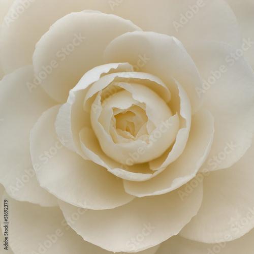 Fotografía Closeup of a white camellia flower