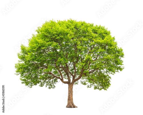Slika na platnu Irvingia malayana also known as Wild Almond