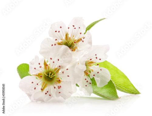 Spring flowers of pear isolated on white isolated on white