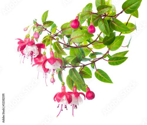 Valokuva blossoming branch of a fuchsia  Alwin