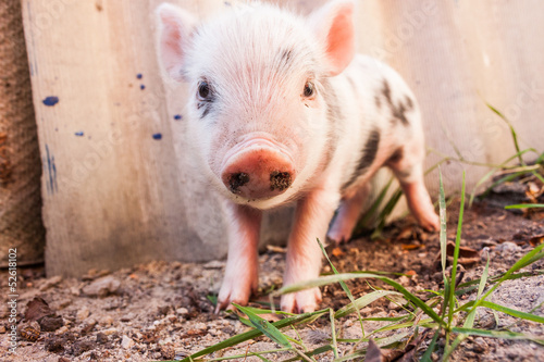 Photo Close-up of a cute muddy piglet running around outdoors on the f