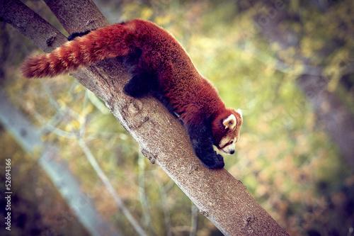 Canvas Print Panda roux qui descend d'un arbre
