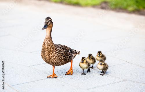 Tableau sur Toile Family of ducks.