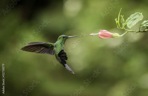 Carta da parati Stripe-tailed Hummingbird