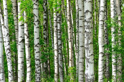Carta da parati Trees in the birch wood