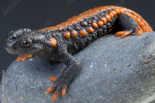 Stampa su Tela Crocodile newt / Tylototriton kweichowensis
