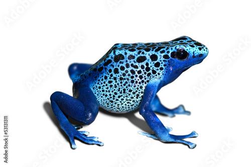 Obraz na płótnie Poison frog
