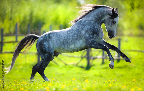 Gray horse running in field in spring. #53389545