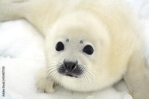 Fototapeta premium Dziecko szczenię foki harfa na lodzie Morza Białego