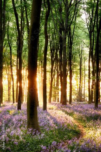 Bluebells in sunrise light #53848310