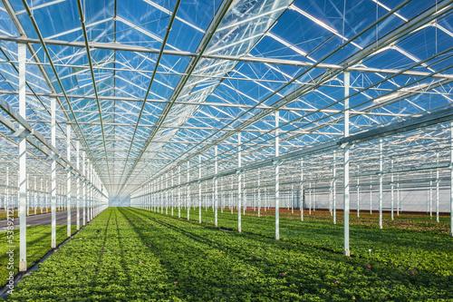Geranium plants in a greenhouse Fototapet