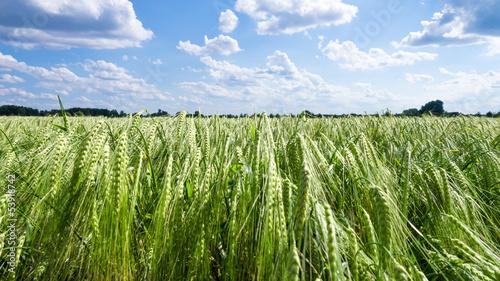Foto Ear of barley on field