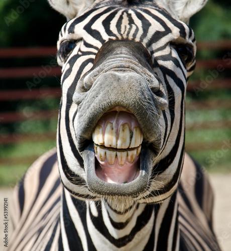 Fototapeta zebra smile and teeth