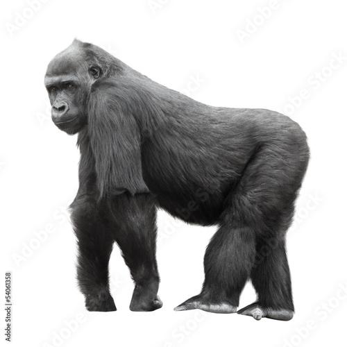 Obraz na płótnie Silverback goryl odizolowywający na białym tle