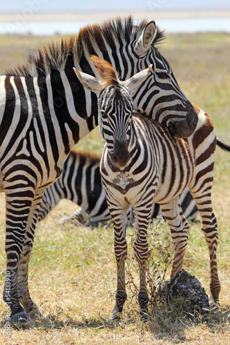 Fototapeta premium Baby zebra z matką