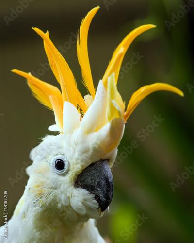 Portrait of Sulphur Crested Cockatoo (Cacatua galerita) #54192709