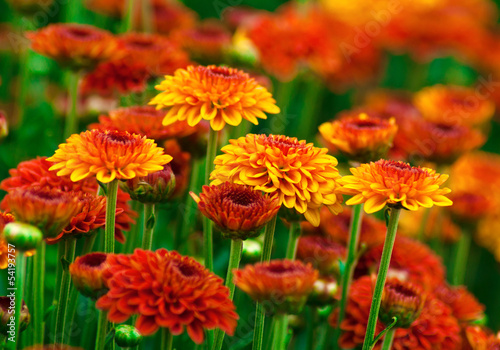 Fotografia Colorful autumnal chrysanthemum