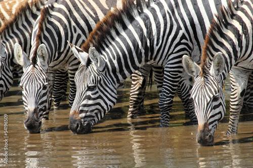 Fototapeta premium Grupa pitnej zebry