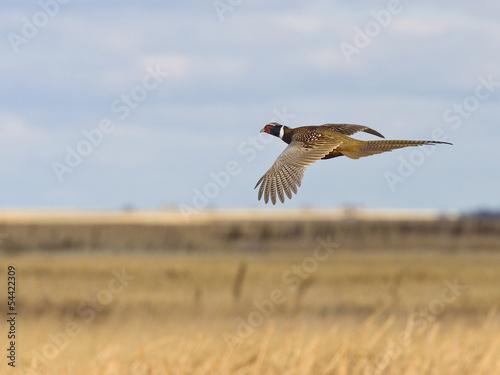 Stampa su Tela Pheasant Hunting
