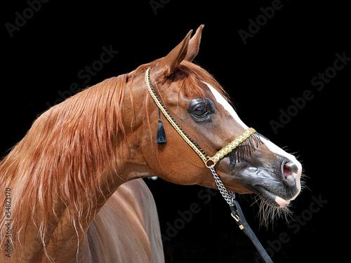 portret konia arabskiego #54823170