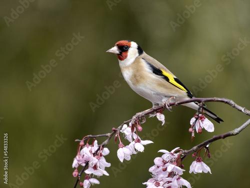 Obraz na plátne Goldfinch, Carduelis carduelis