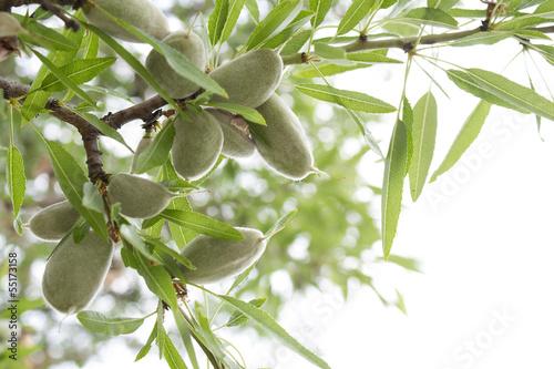 Almond tree Fotobehang