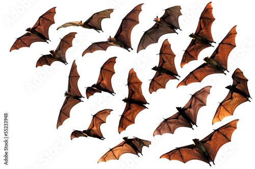 Fotografie, Obraz Colony of flying fox fruit bats in sky
