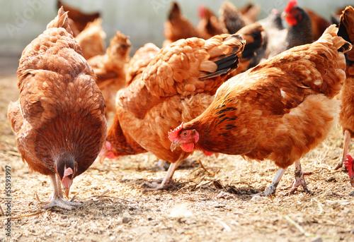 Obraz na płótnie Chickens on traditional free range poultry farm