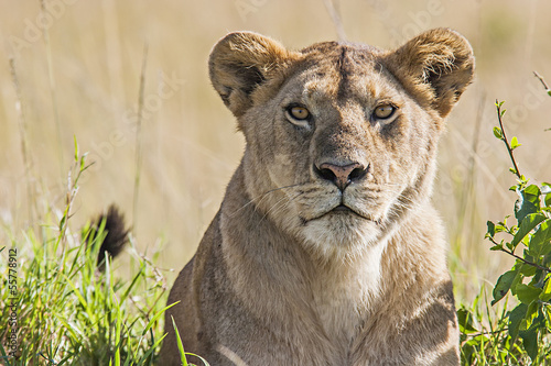 Stampa su Tela Lioness (Panthera Leo)