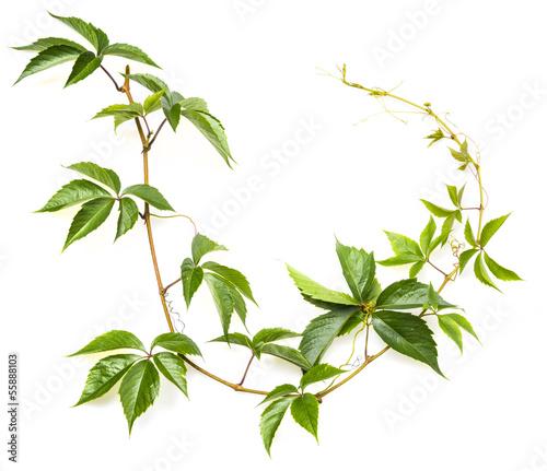 Fotografia, Obraz green branch on a white background
