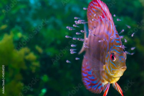 Discus fish with baby fish swimming in aquarium Fototapeta