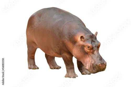 Stampa su Tela hippopotamus isolated