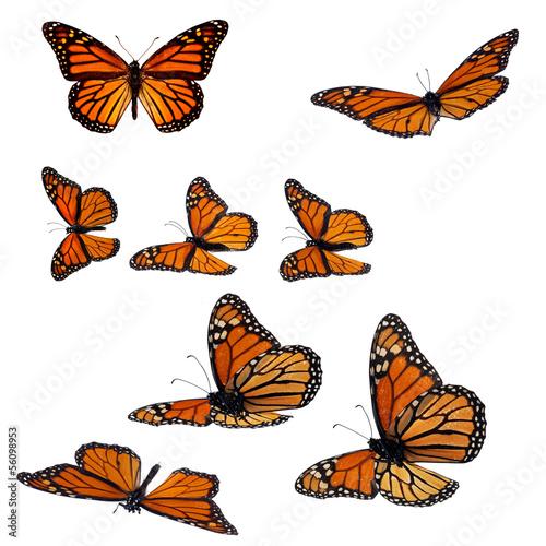 Fotografia Collection of monarch butterflies