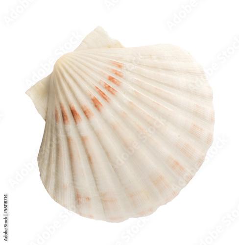 Canvas Scallop shell