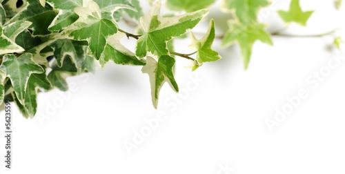 Obraz na plátně branch of ivy