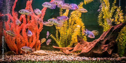 Ttropical freshwater aquarium with fishes #56328146
