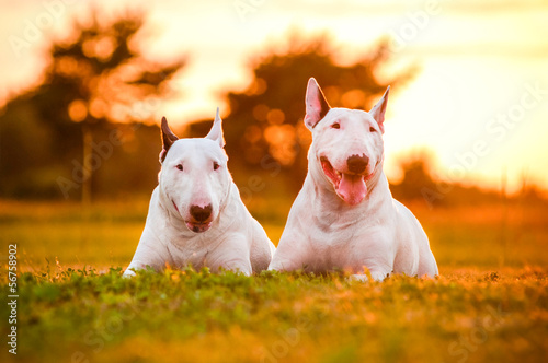 Photo two english bull terrier dogs at sunset